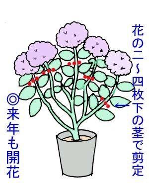 アジサイの剪定は 気遣うととても見事に咲きます アジサイの見栄えを良くし 翌年の開 花の育て方 紫陽花 剪定 剪定
