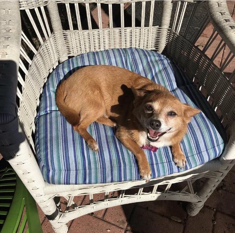 Pin by LineCorner on Pets mix, Chihuahua