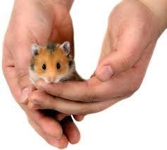 Resultado de imagen de hamsters razas