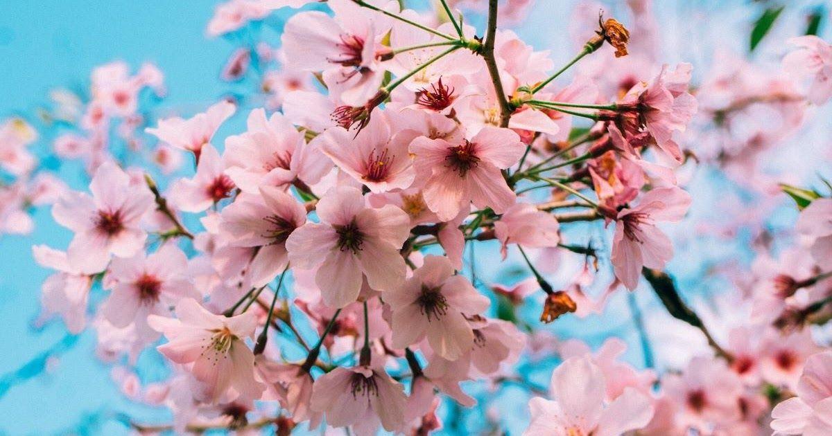 31 Gambar Bunga Jepang Selain Jepang Kamu Bisa Melihat Bunga Sakura Mekar Di 13 Tempat Wisata Taman Bunga Sakura Terindah Di Gambar Bunga Bunga Bunga Sakura