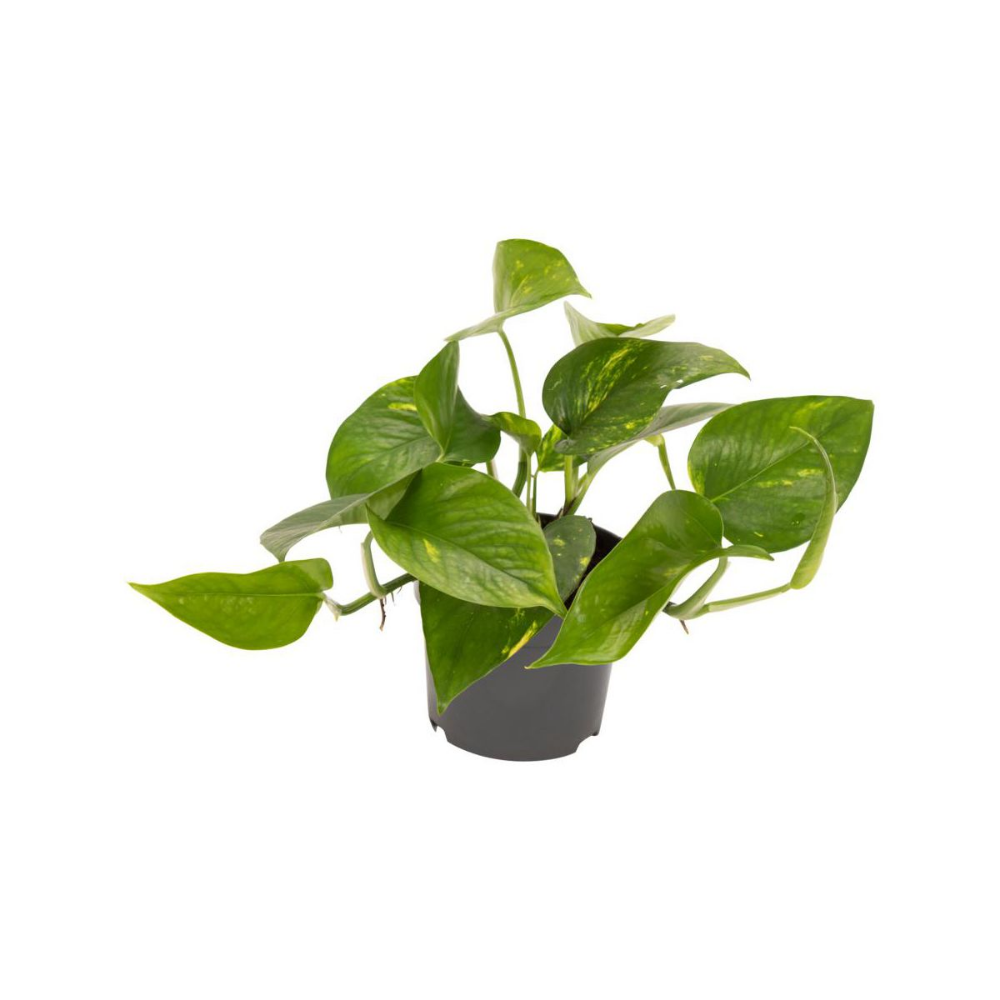 Epipremnum Scindapsus Aureum 20 Cm Kwiaty Doniczkowe W Atrakcyjnej Cenie W Sklepach Leroy Merlin Plant Leaves Plants Leaves