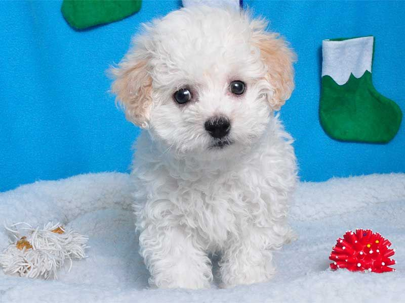 Shake A Paw Shake A Paw New Jersey S Puppy Superstore Bichon Poodle Mix Poodle Mix Daisy Dog