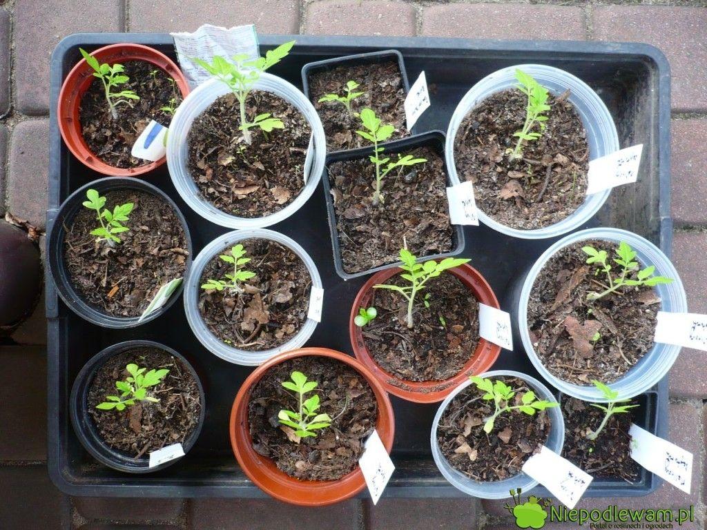 Pomidory Posiane Pojedynczo Do Doniczek Nie Potrzebuja Pikowania Fot Niepodlewam Plants