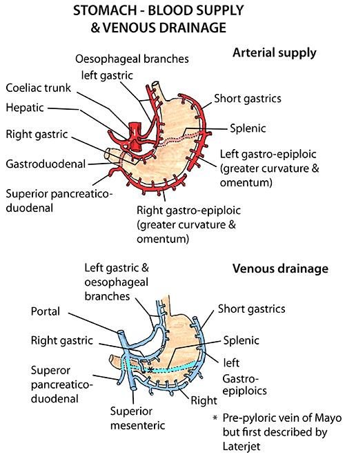 Anatomy of Stomach Blood supply & venous drainage | Anatomy 2.1 ...
