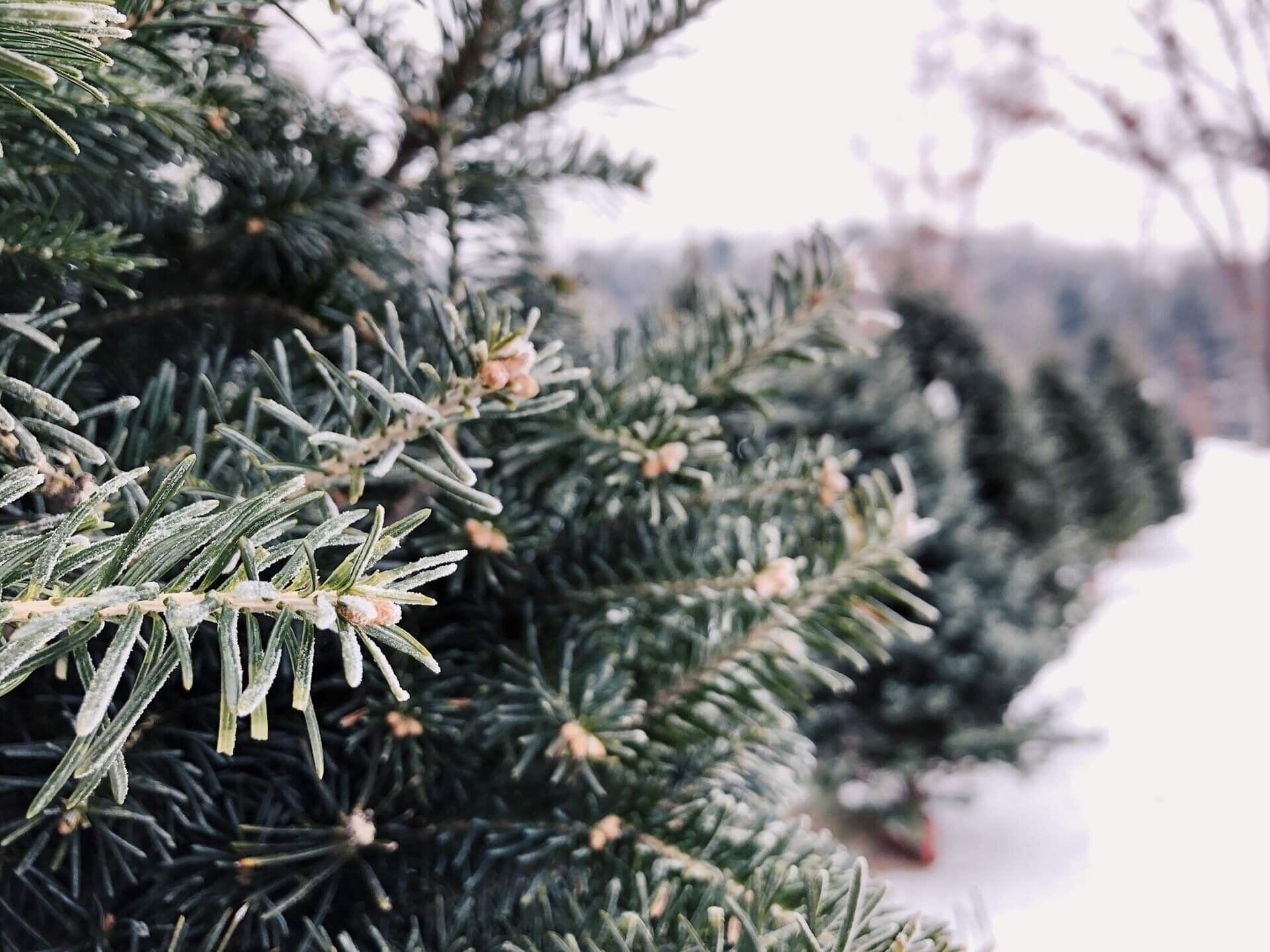 How Does Rochester Ny Celebrate The Holidays Online Virtual Interior Design Julie Ann Rachelle Christmas Tree Farm Colorado Christmas Tree Colorado Christmas
