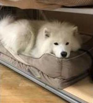 Fluffy Samoyed Dog Claims Bed At Bed Bath Beyond Samoyed Dogs