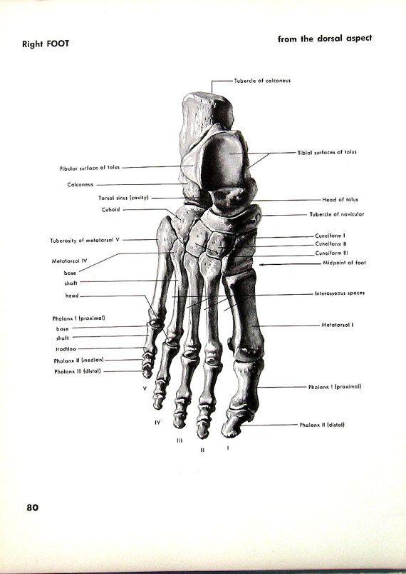 Human Foot - Right Foot -1951 Vintage Anatomy Book Plate Human Bones ...