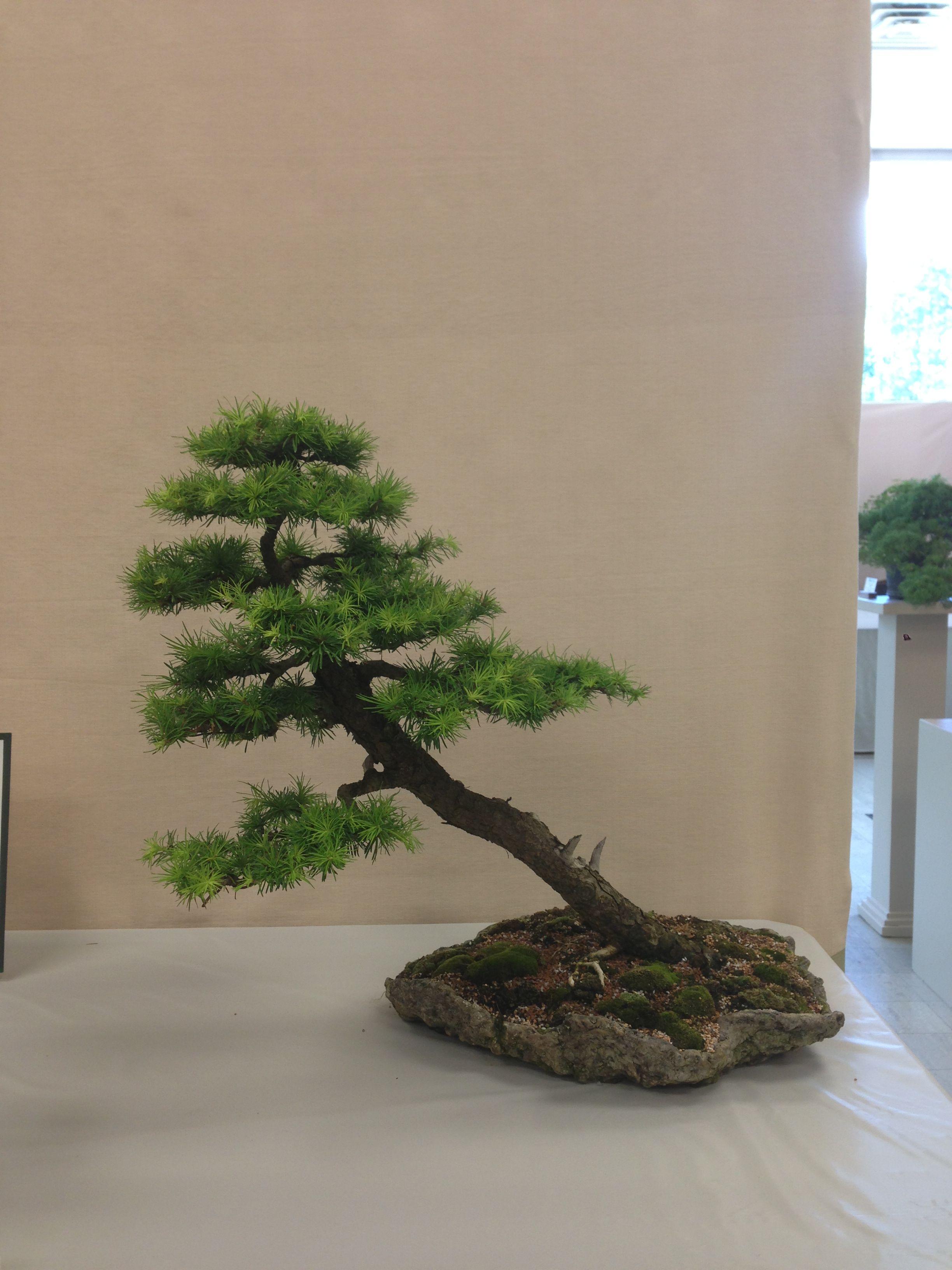 Japanese Larch Bonsai From The Ann Arbor Bonsai Society Show 2013 In Michigan 15 Year Old Bonsai Styles Pine Bonsai Bonsai Tree