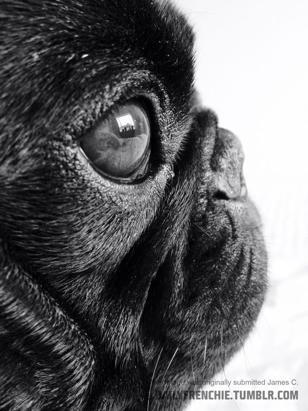 Pugface Profile Pug Puppies For Sale Black Pug Puppies Pugs