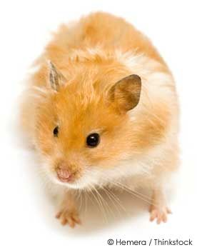 Your Hamster's Scent Glands: What You Need to Know  http://ow.ly/9FlSa