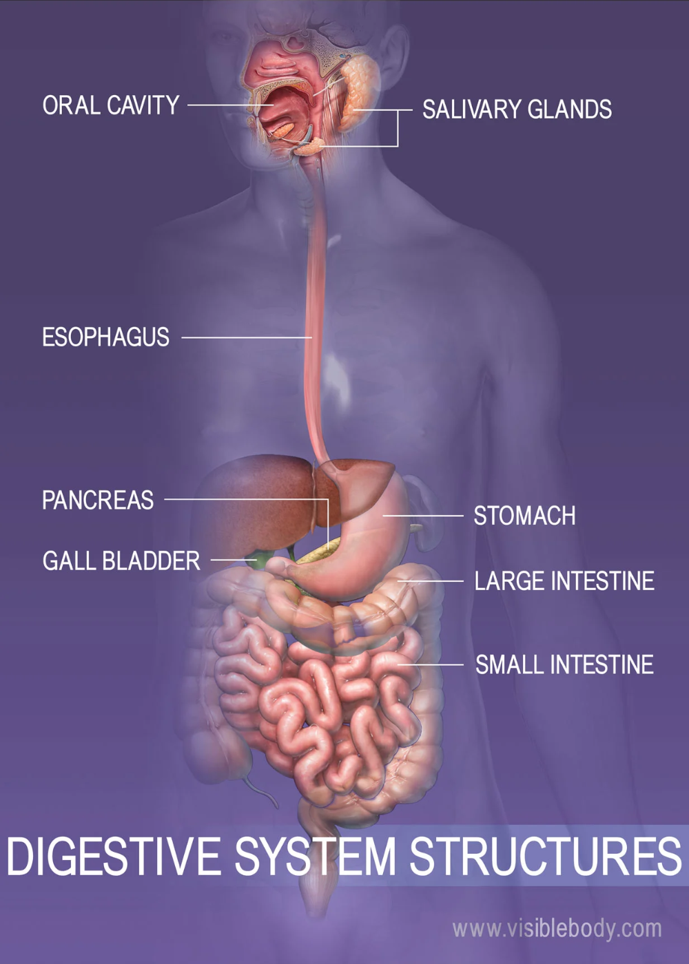 Overview Of The Digestive System Human Digestive System Digestive System Digestion