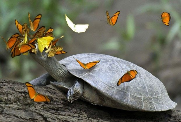 Butterflies drinking tears from turtle eyes - see more on blog