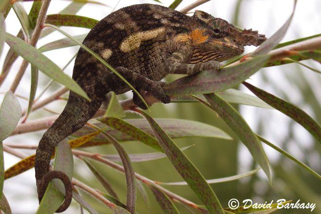 Fischer S Chameleon Reptiles And Amphibians Chameleons For Sale