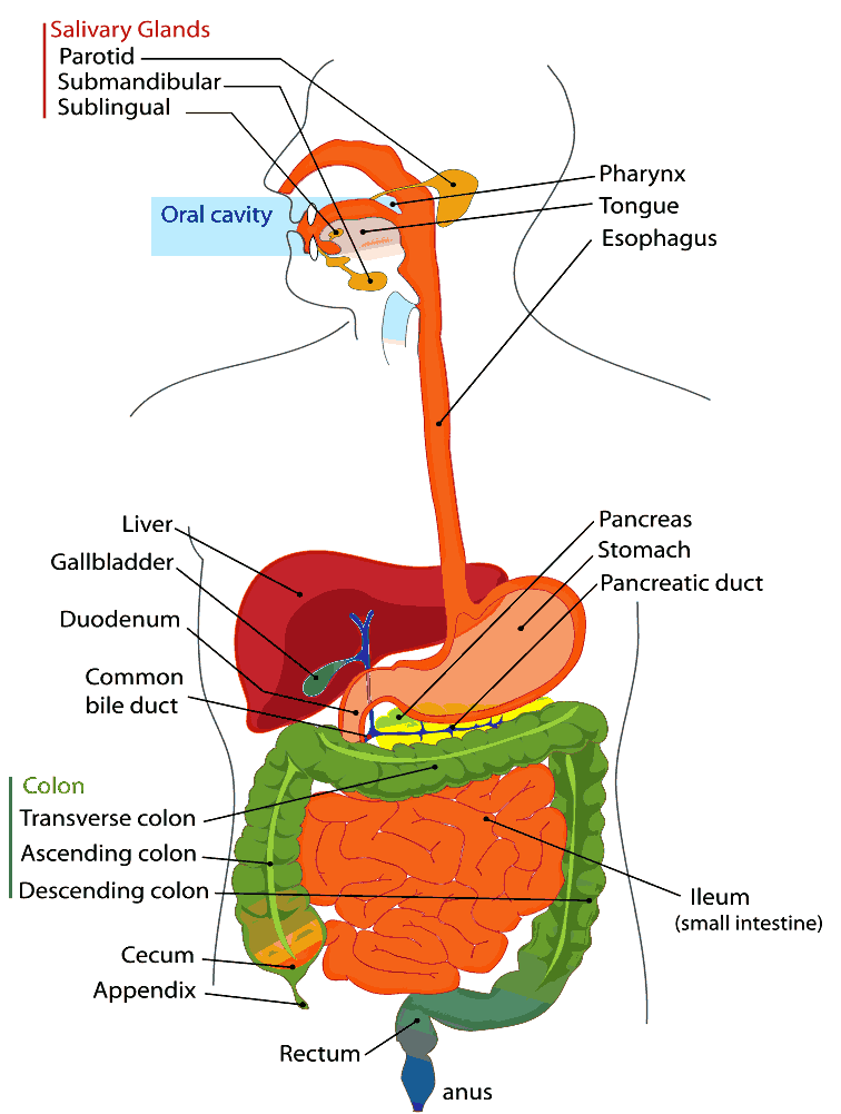 Digestive sytem    diagram       labeled      eyes and ears and mouth and nose   Human digestive system