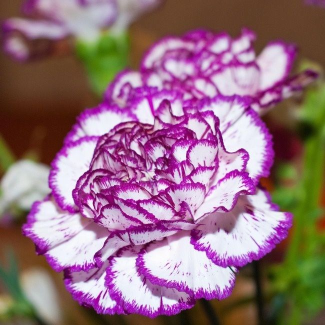 Find This Pin And More On Flowers That Make Me Smile White Carnation With Purple Edge