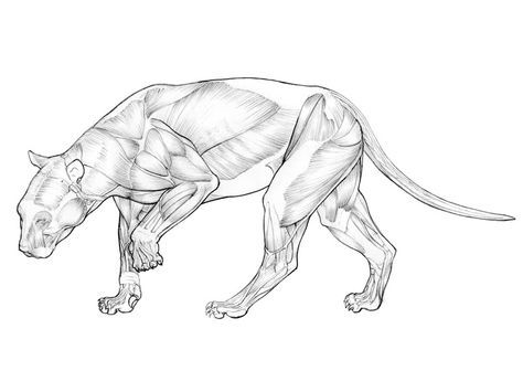Image Result For Panther Anatomy The Panther