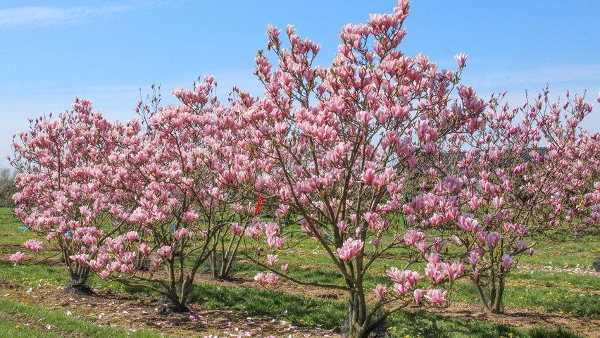 Afbeeldingsresultaat Voor Magnolia Heaven Scent Grindboom
