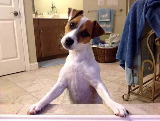 Choice Jack Russell Terrier Photo Jack Russell Terrier Jack Russell Jack Russell Dogs