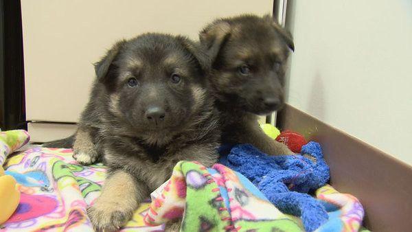 German Shepherd Puppies Doused In Fuel And Dumped In Arizona