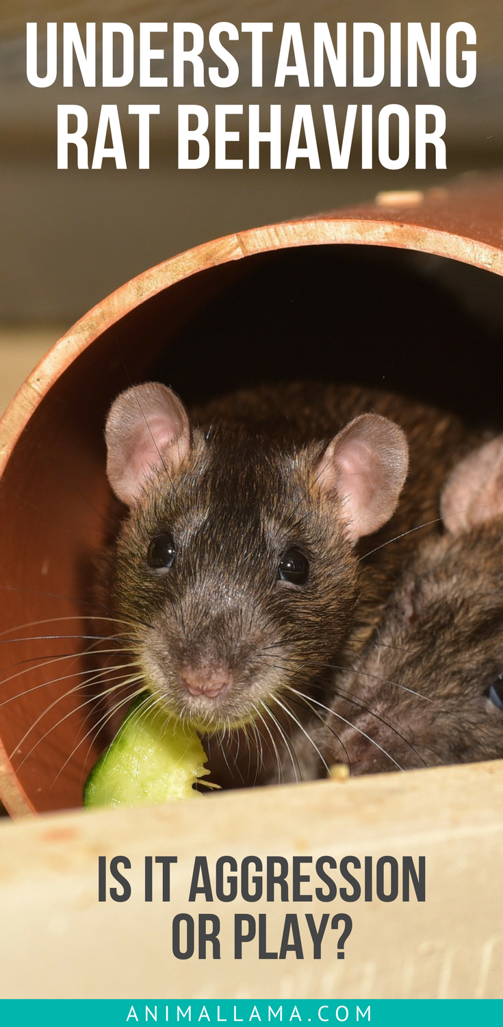 Are My Rats Playing or Fighting? Understanding Rat