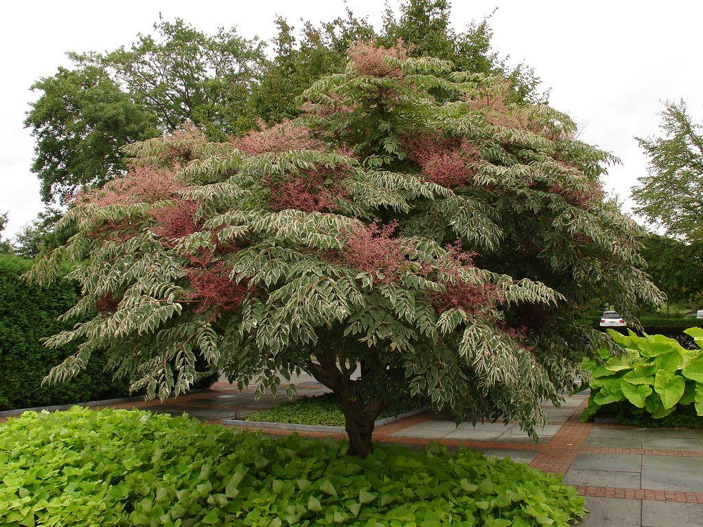 Aralia elata 'Variegata' (5) Drzewa