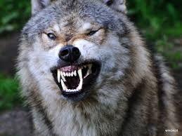 Bildergebnis für wölfe