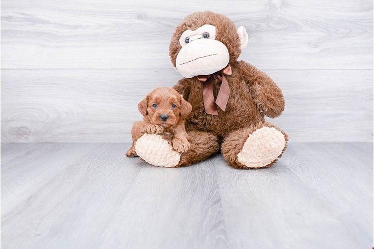 F1b Cockapoo Puppy 1 Puppies For Sale Mini Goldendoodle Puppies Goldendoodle Puppy