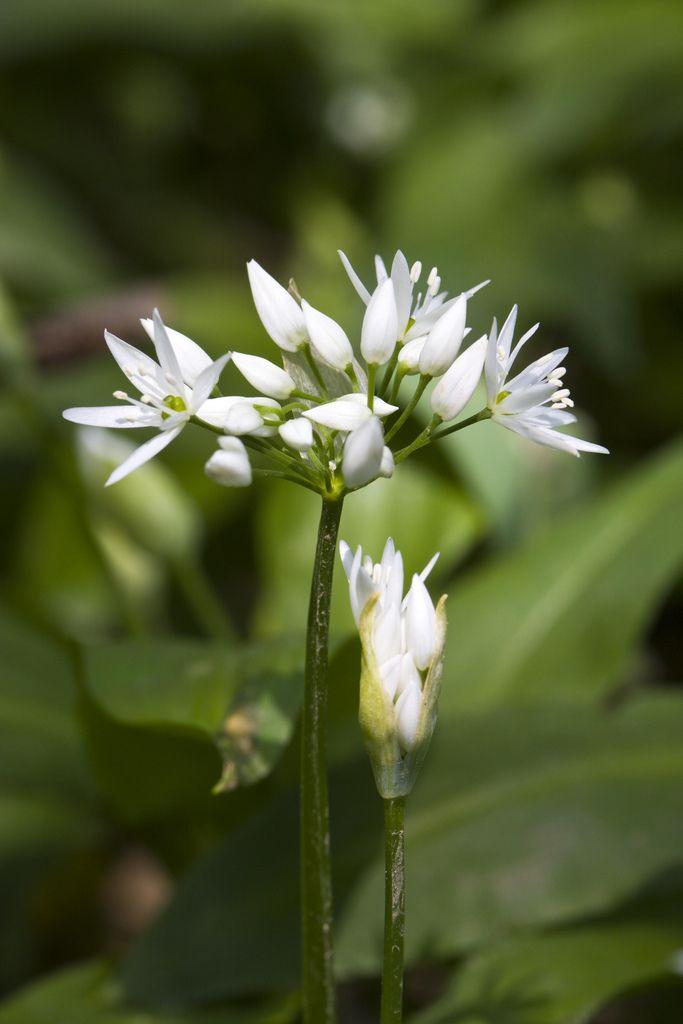 Ramson Allium Ursinum Allium Wild Flowers Flowers