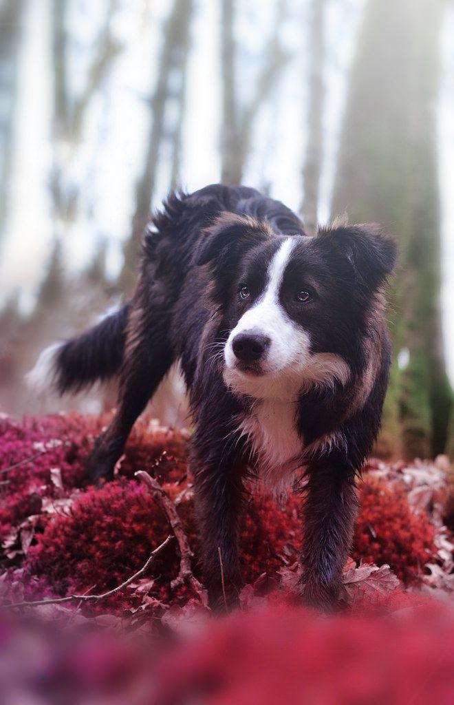 Oreo The Border Collie By Ottahtigrou On Flickr Border Collie Collie Collie Puppies