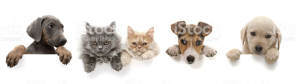 Dogs And Cats Above White Banner Dog Cat Cat Stock Cats
