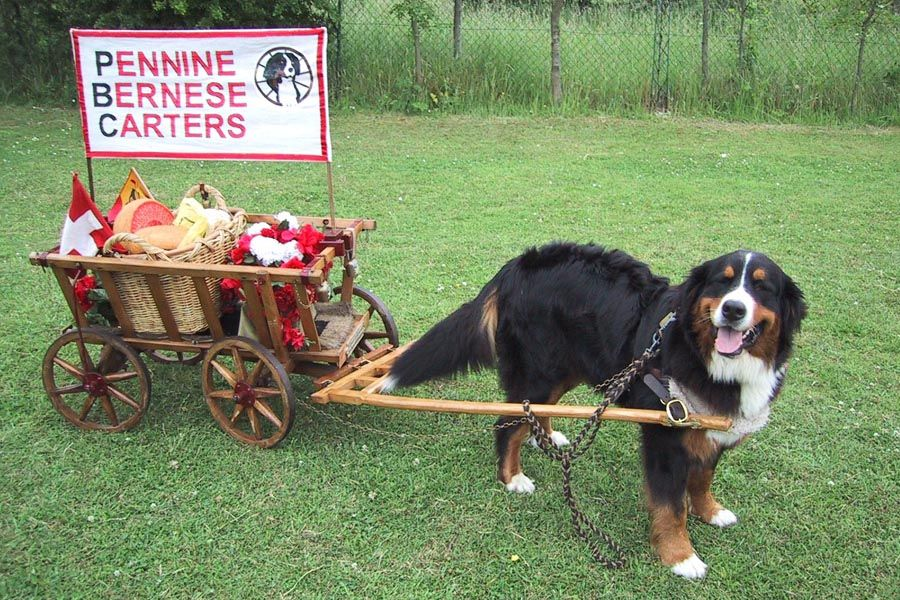 Bernese Mountain Dog Cart For Sale Goldenacresdogscom