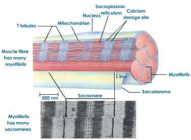 Describe the generalised structure of a skeletal muscle cell describe the generalised structure of a skeletal muscle cell google search ccuart Images
