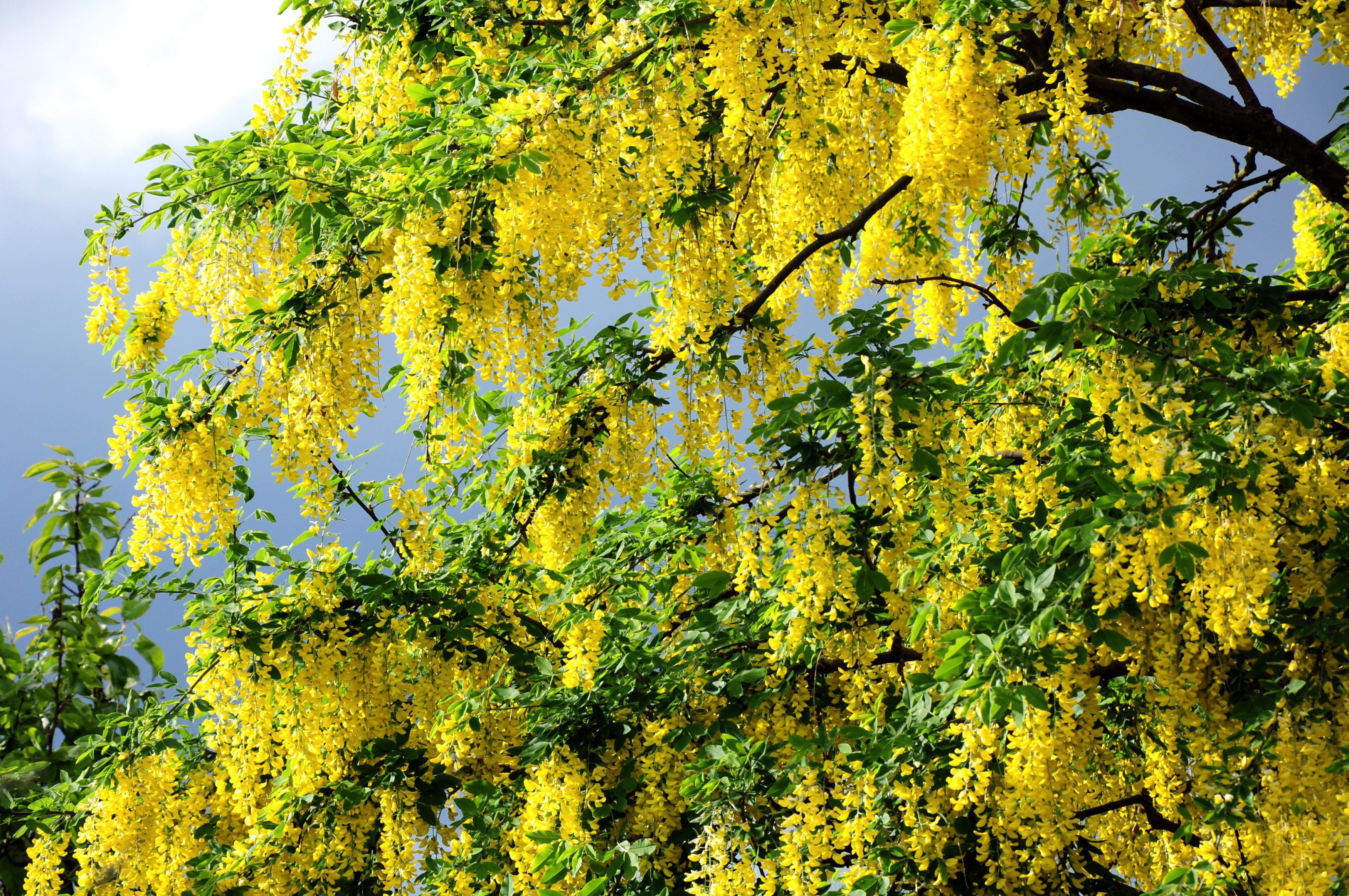 Natureseasonsspringbeautifulfloweringspringtree068240