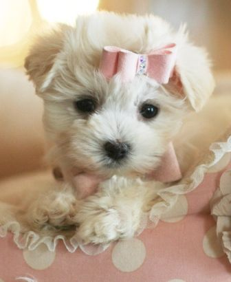 Teacup Maltese Teacup Maltese Dogs For Sale Dogs For Sale