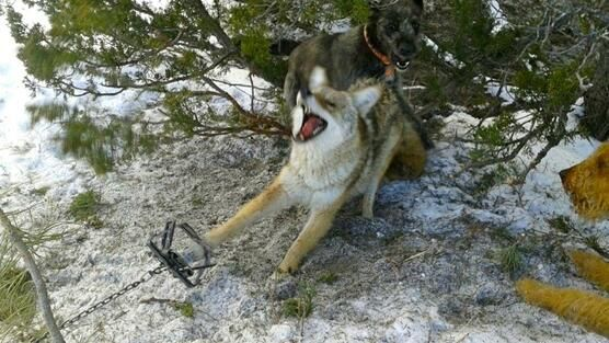 Wildlife Officer took a video of him SLOWLY torturing & killing trapped wolf! RT Sign Petition>http://www.change.org/petitions/fire-usda-wildlife-services-federal-trapper-jamie-olson-for-animal-cruelty#share … pic.twitter.com/AxPlzxrlJ9