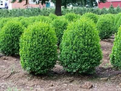 Planting Dwarf Evergreen Shrubs Evergreen Shrubs Shrubs For Landscaping Box Wood Shrub