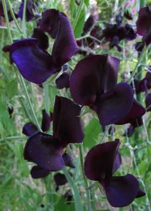 'Almost Black' Sweet Pea Have to get me some of these...........