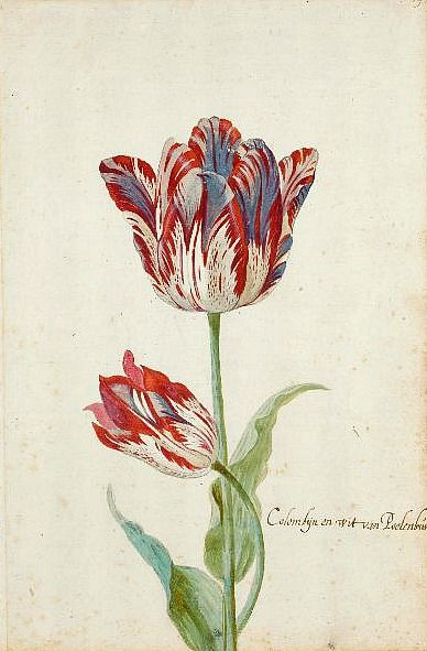 Jacob Marrel  Two Red and White Tulips  17th century