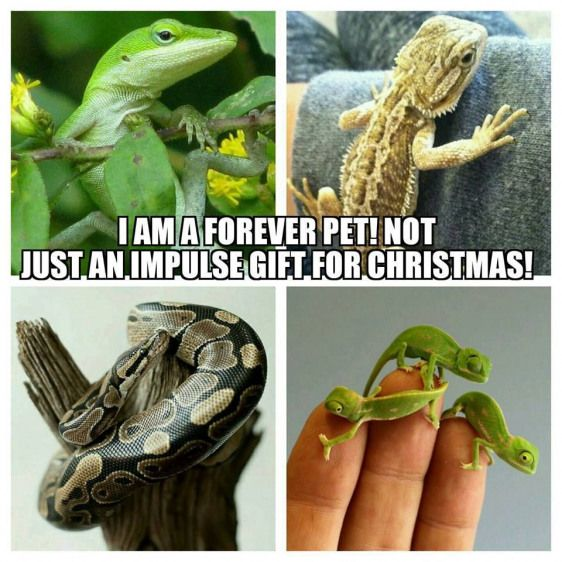 Thinking about getting a pet reptile this Christmas? Please read