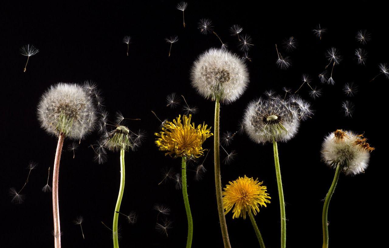 Dance of the dandelions