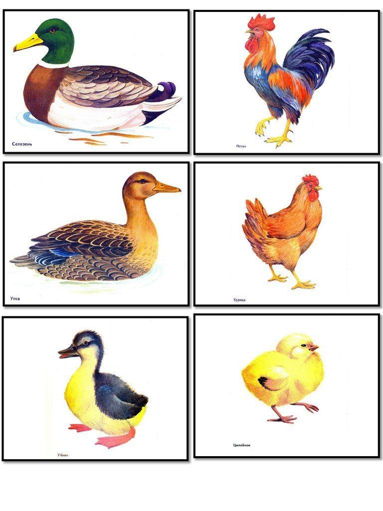 картинки для игры домашние птицы нарядов оранжевого цвета