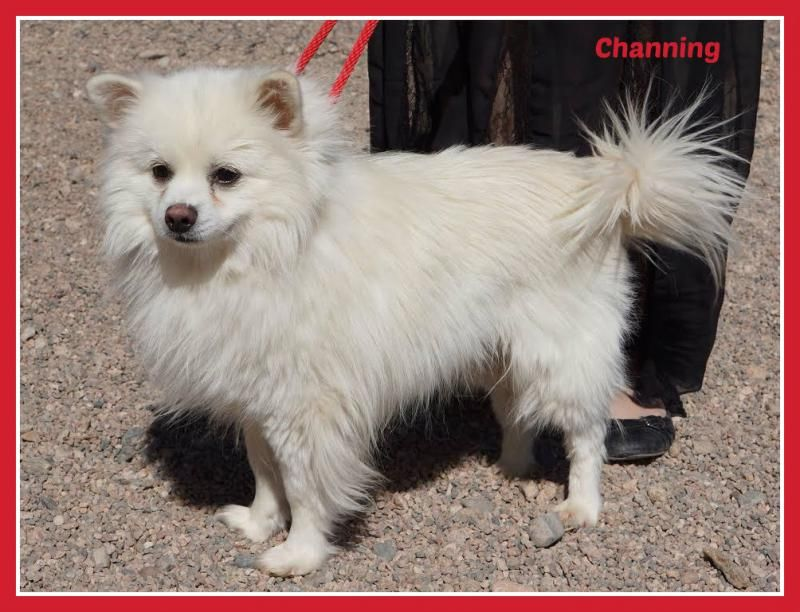 Adopt Channing On Miniature American Eskimo Animals Pets