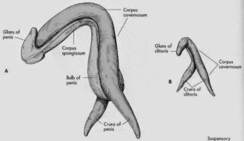 fun facts about the reproductive system