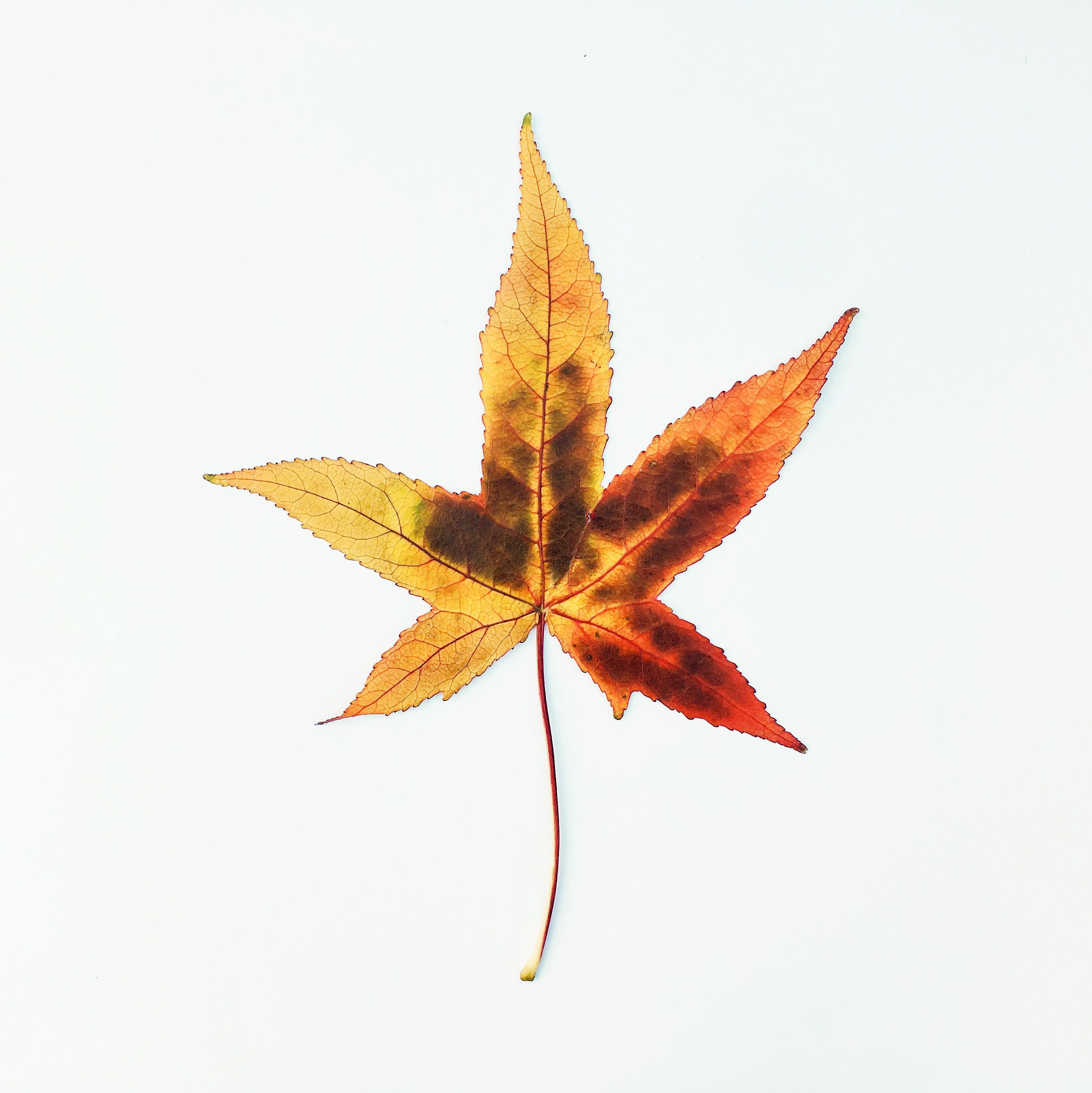 Leaf 34 Of The 1 000 Autumn Leaves Project Showcasing Sweet Gum