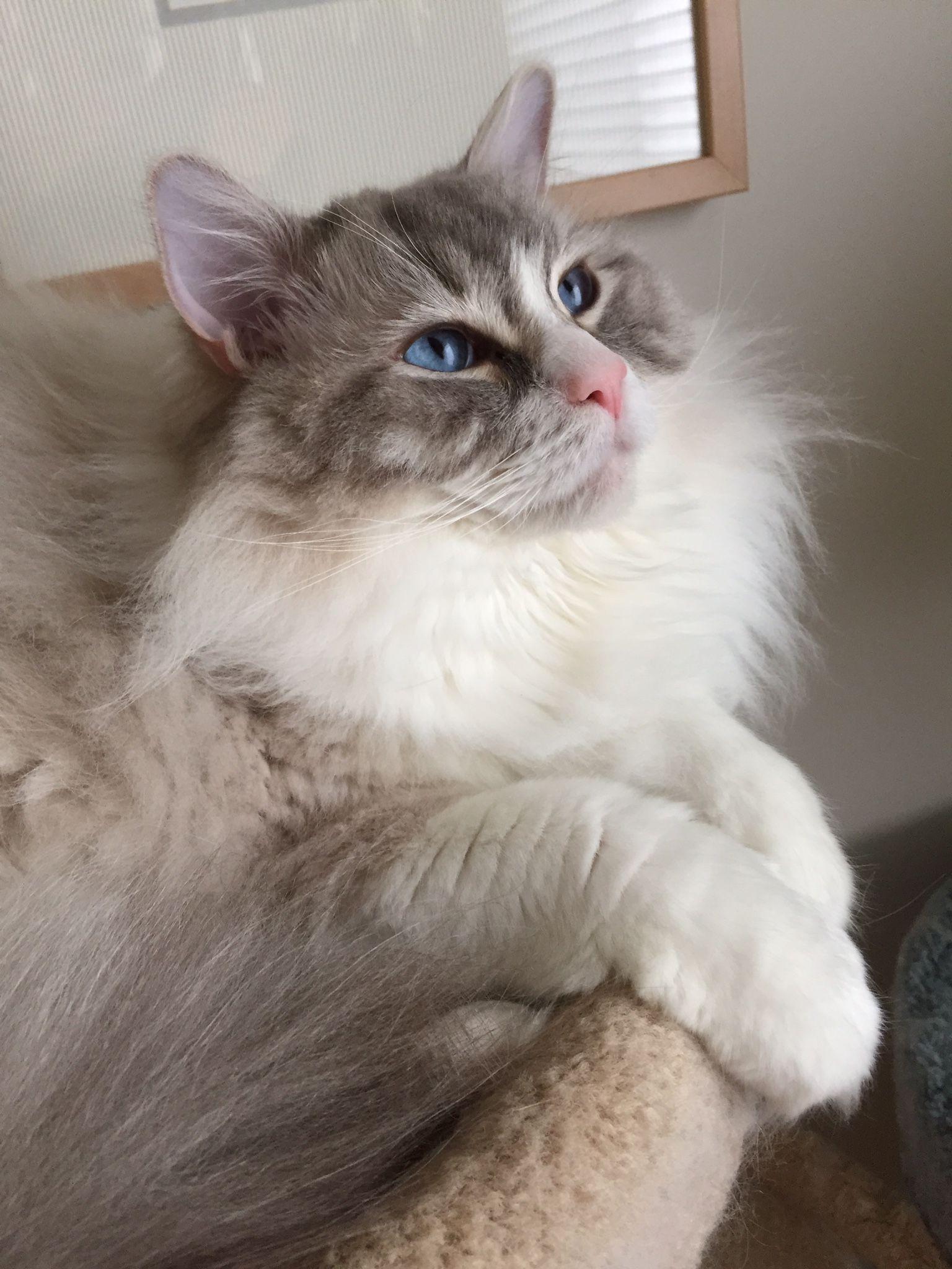 Coopurr Pretty Cats Ragdoll Cat Cat Furry