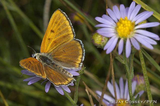 Ruddy Copper (Lycaena rubidus) male dorsal R4389 Grand Teton NP, WY PFN | Flickr - Photo Sharing!