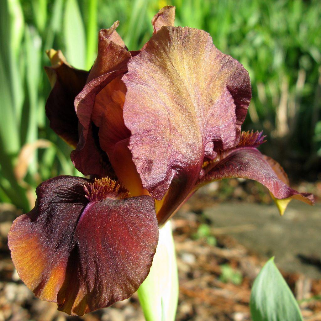 Iris uchocolate swirlu chocolate swirl iris and flowers