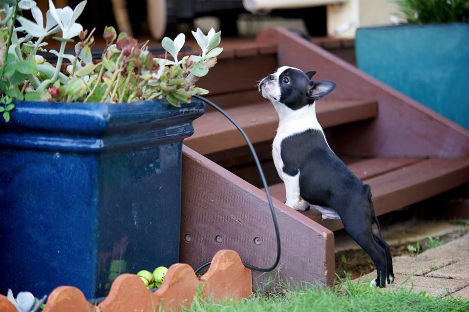 Standing Outside In The Stairs Tuxedo At 10 Weeks Old From Perth Western Australia Photo Boston Terrier Dog Boston Terrier Boston Terrier Puppy