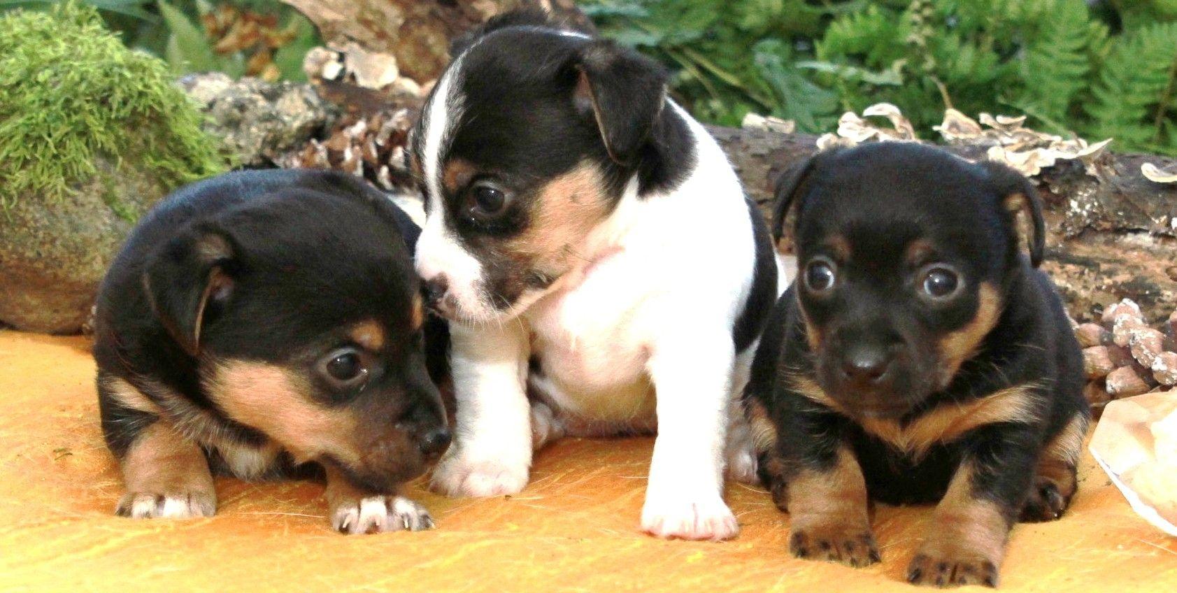 Adorable irish jack puppies