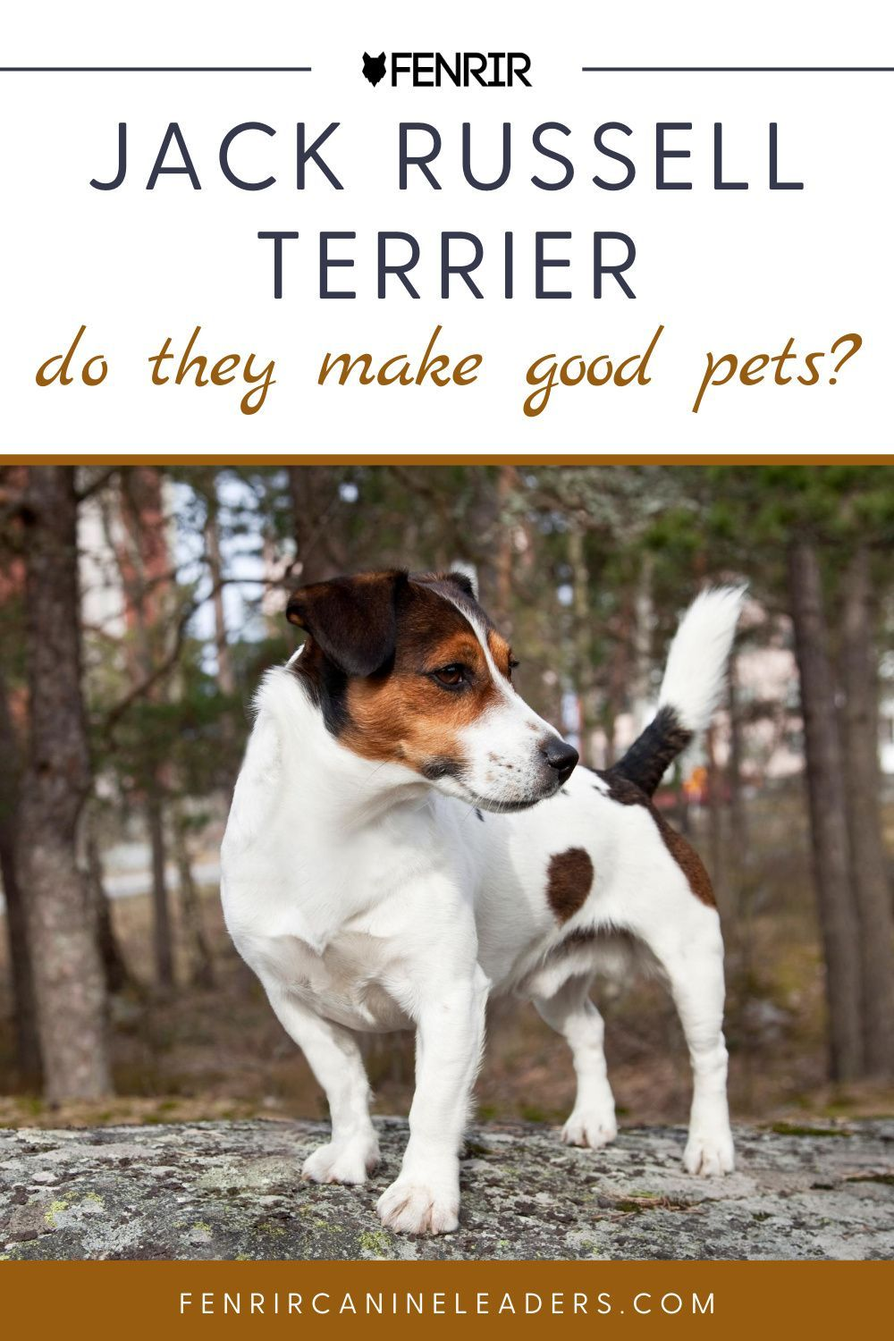 Everything You Need To Know About Owning A Jack Russell Terrier In 2020 Jack Russell Terrier Terrier Dog Breeds Jack Russell